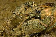 Spiny-Cheek Crayfish<br /> <br /> Viktor Vrbovsky/Engbretson Underwater Photography