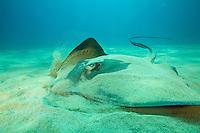 Diamond Stingray (Dasyatis dipterura)<br /><br />Coiba Island<br />Coiba National Park, Panama<br />Tropical Eastern Pacific Ocean<br /><br />Don Juan Dive Site