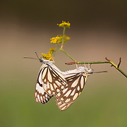Mating Brown-veined white butterflies (Belenois aurota) Also known as pioneer or pioneer white or caper white. This is a small to medium-sized butterfly of the family Pieridae. Photographed in Israel in October