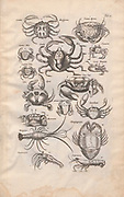 Crabs Illustration from 'Historiae Naturalis De Exanguibus Aquaticis  libri IV' (Natural History of Sea animals book 4) by Johannes Jonston. Published 1665.