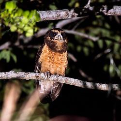 """""""Murucututu-de-barriga-amarela (Pulsatrix koeniswaldiana) fotografado em Conceição da Barra, Espírito Santo -  Sudeste do Brasil. Bioma Mata Atlântica. Registro feito em 2013.<br /> <br /> <br /> <br /> ENGLISH: Tawny-browed Owl photographed in Conceicao da Barra, Espírito Santo - Southeast of Brazil. Atlantic Forest Biome. Picture made in 2013."""""""
