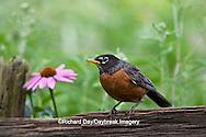 01382-05008 American Robin (Turdus migratorius) on fence near flower garden, Marion Co., IL