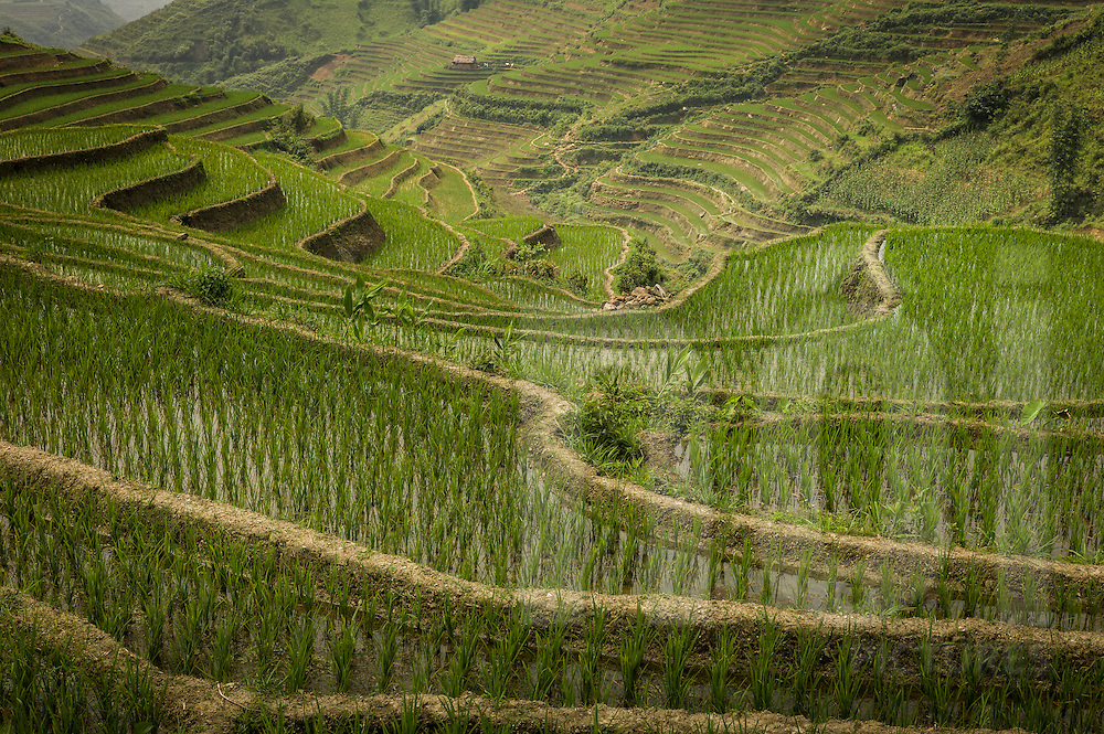 Lush green terraced rice fields cover the mountainous landscape, Sapa area, Lao Cai Province, Vietnam, Southeast Asia