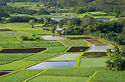 Hanalei Valley taro fields and Hanalei National Wildlife Refuge; Kauai, Hawaii.