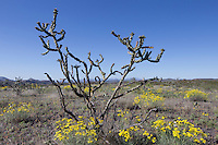 Cholla (Cylindropuntia imbricata var. arborescens) and Threaldleaf Groundsel (Senecio douglasii) at Big Bend Ranch State Park, Texas
