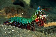 Mit seinem aufgerichteten Vorderkörper und seiner Gesamtlänge von bis zu 15 cm ist der Bunte Fangschreckenkrebs (Odontodactylus scyllarus) eine imposante Erscheinung. | Peacock mantis shrimp large male (Odontodactylus scyllarus)