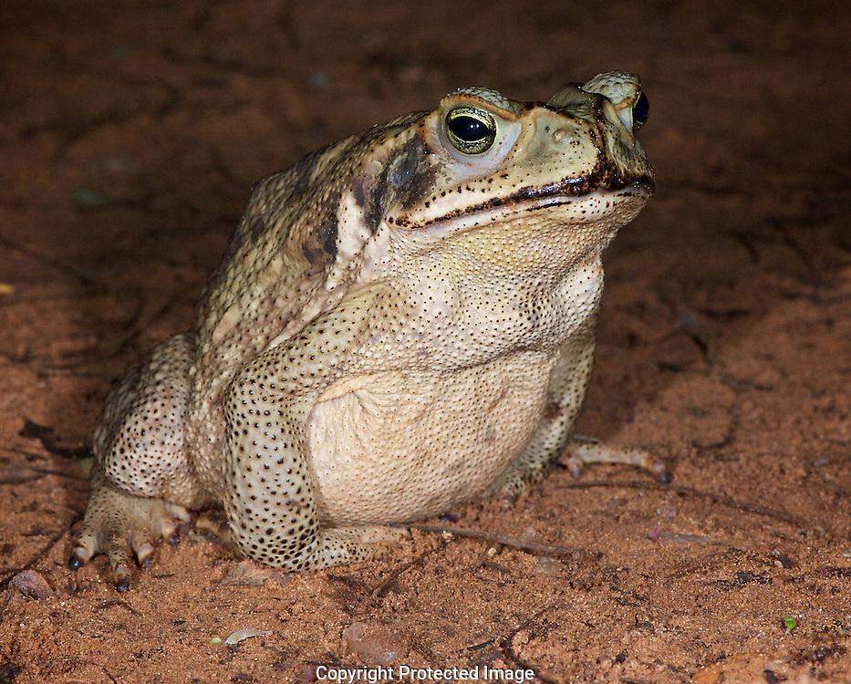 Marine Toad. (Bufo marinus), Jardim do Amazonia, Brazil, Brazil, Isobel Springett