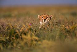 A hunting cheetah  (Acinonyx jubatus) using deep vegetation as cover during the calving season, Ndutu, Ngorongoro Conservation Area, Tanzania, Africa