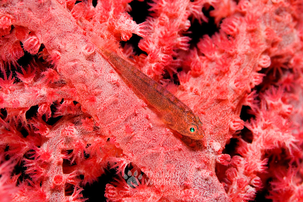 Common ghostgoby Pleurosicya mossambica at, Lembeh Straits, Indonesia.