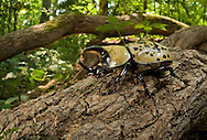 Eastern Hercules Beetle (Dynastes tityus) on tree roots, South Carolina. This is the largest beetle in eastern North America.