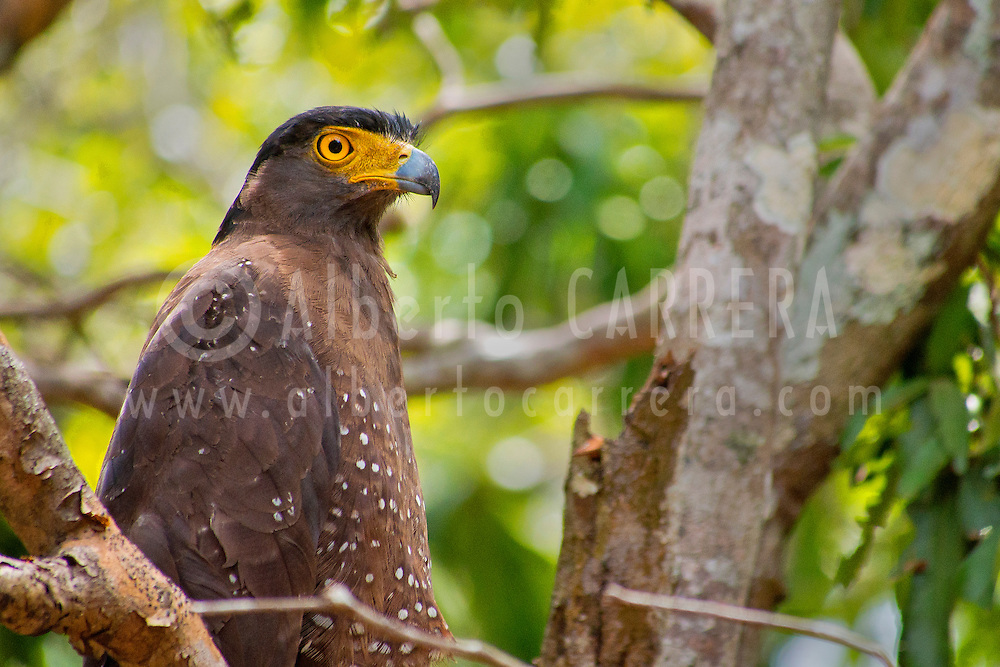 Alberto Carrera, Crested Serpent Eagle, Spilornis cheela, Wilpattu National Park, Sri Lanka, Asia