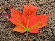 A maple leaf turns from yellow green to bright orange red in late September, in Michigan, USA. Published by Trees For Tomorrow (Treesfortomorrow.com) Natural Resource Specialty School in Eagle River, Wisconsin, on a forest trail interpretive sign.