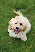 This is Gilbert, the 6-month-old Cavapoo - a Cavalier Kings Charles Spaniel crossed with a miniature Poodle