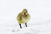 Stock photo of Canada Gosling captured in Colorado.  Goslings do not leave their parents until the Spring migration.