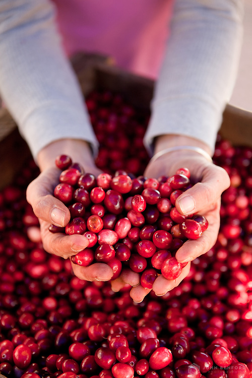 A farmer holds out a generous double handful of fresh cranberries from a bin.