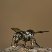 Apoidea Megachilidaebee in Chaloem Phrakiat Thai Prachan National Park, Thailand.