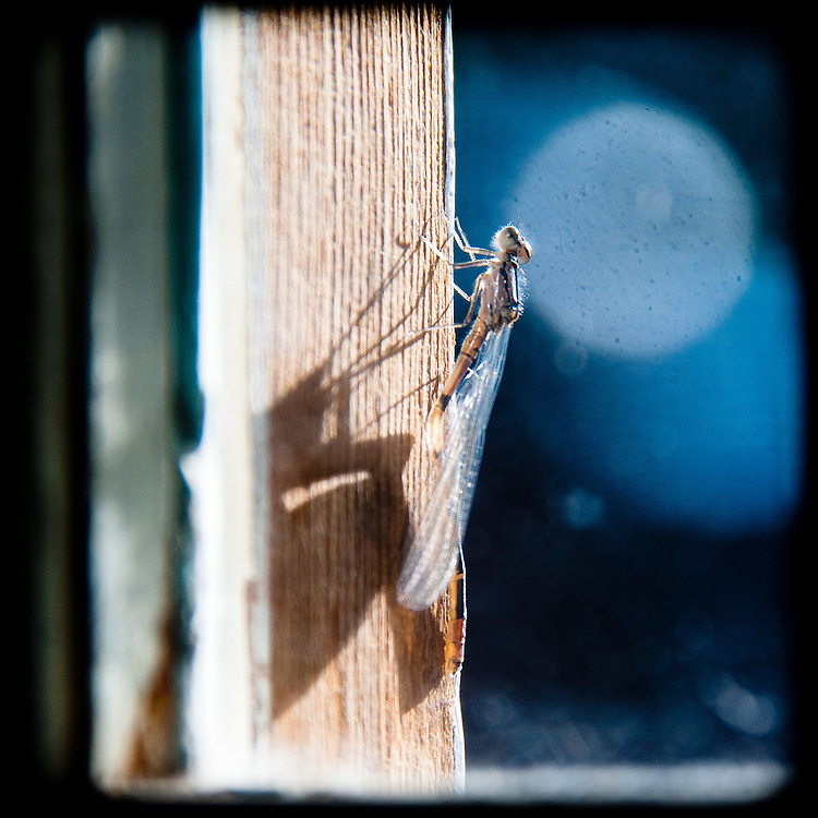 Dragonfly on window pane