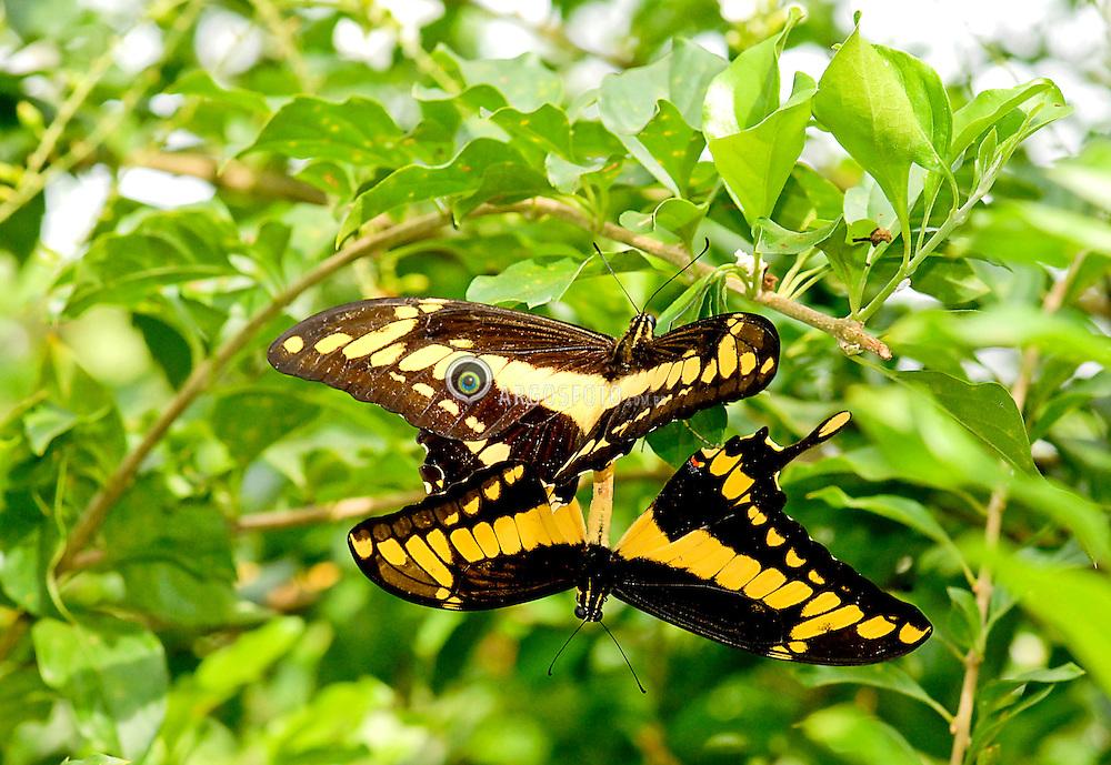 Borboletas em copula. Borboletas no pantanal brasileiro, Mato Grosso, proximo a cidade de Porto Cercado / Butterflies mating. Butterflies in brazilian Pantanal. Mato Grosso state nearby Porto Cercado city