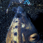 A black-finned snake eel being cleaned by a cleaner shrimp in the shallows of Lembeh Straits, Indonesia.