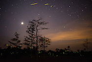 Lightning Bugs adorn the night sky along with Jupiter and the stars near Gator Hook Strand in the Florida Everglades
