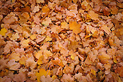 Fallen leaves fill the ground in autumn.