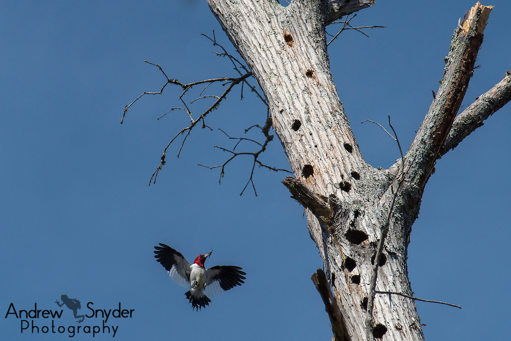 A red-headed woodpecker (Melanerpes erythrocephalus) with a beak full of food - John Kyle State Park, Misssissippi