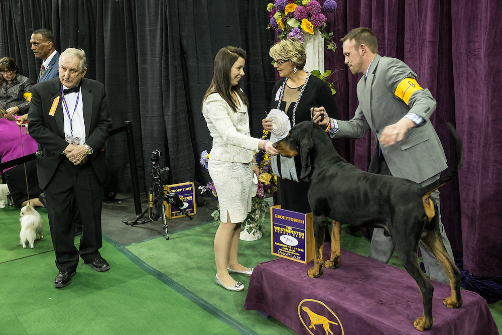 New York, NY - 16 February 2015. Black and tan coonhound Bayaway Jersey's Due Process Of Law preparing for his official photo op after the hound group judging of the 139th Westminster Kennel Club dog show.