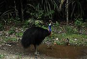 male cassowary guarding chicks, kuranda north queensland