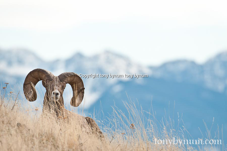 trophy bighorn sheep resting in grass big mountain background, wild rocky mountain big horn sheep