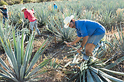 Jimadores uses a coa, a knife like spade, to cut the spears off blue agave plants during harvest in a field owned by the Siete Leguas tequila distillery in the Jalisco Highlands of Mexico. Siete Leguas is a family owned distillery crafting the finest tequila using the traditional process unchanged since for 65-years.