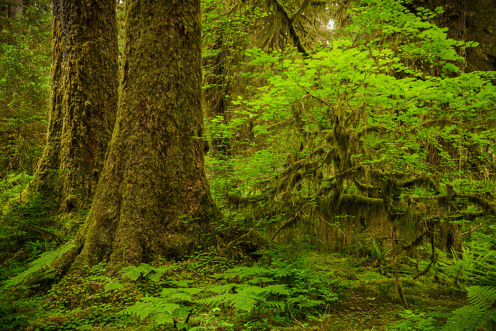 Old growth Sitka Spruce, Hoh Rainforest, Olympic National Park, WA, USA