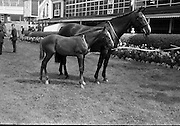 08/08/1967<br /> 08/08/1967<br /> 08 August 1967<br /> R.D.S. Horse Show, Ballsbridge, Dublin. &quot;Seagahan&quot; the property of Mr W. Mcl. wallace, M.R.C.V.S., Dunbarton House, Gosford, Portadown, Co. Armagh. 10yr old mare, winner of Class 8, Mares not eligible for entry in Weatherby's Stud Book, calculated to produce High-Class Hunters, with a foal at foot by a thoroughbred stallion, with Colt foal foaled on 2nd May by Valerullah.