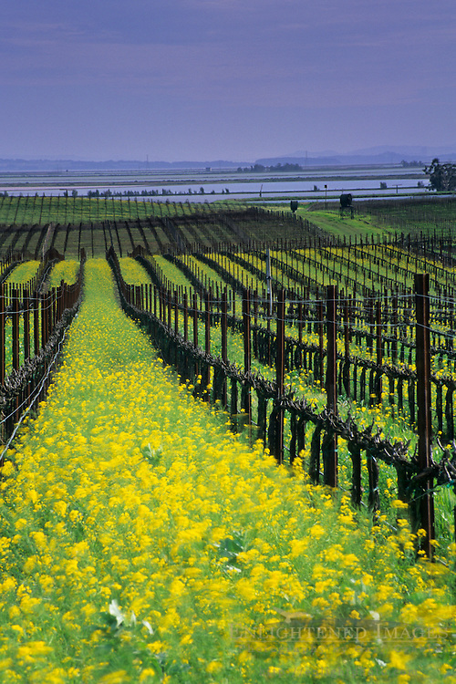 Mustard in vineyard in early spring in the lower Carneros Region, Napa County, California