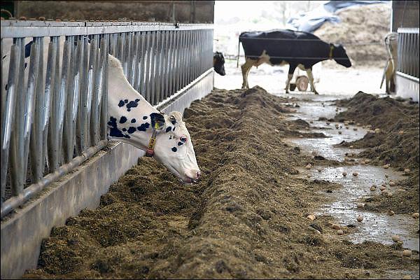 Nederland, Milsbeek, 2-4-2015Koeien, melkkoeien,  in de stal bij een melkveebedrijf. Foto: Flip Franssen/Hollandse Hoogte
