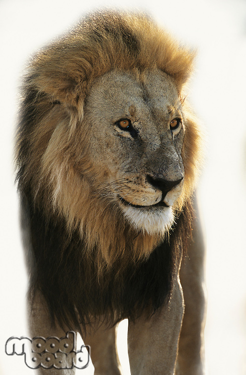 Lion standing and looking away over white background