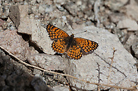 Chlosyne acastus neumoegeni (Sagebrush Checkerspot) at Bob's Gap, Los Angeles Co, CA, USA, on 10-Apr-16