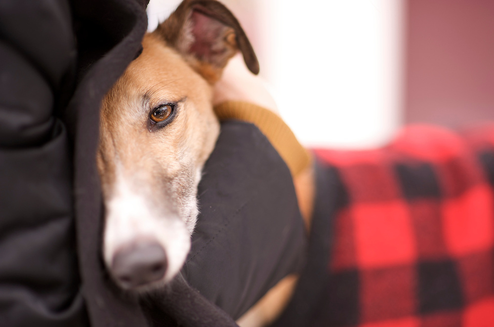 Greyound Rescue Fostering