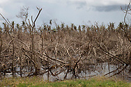 MAUNABO, PUERTO RICO - OCTOBER 9, 2017 -    View of destroyed mangroves at the Punta Tuna Wetland Natural in Maunabo, Puerto Rico, where the center of Hurricane Maria made landfall.  (Photo/Jos&eacute; Jim&eacute;nez) Through the Iris of Hurricane Mar&iacute;a<br />
