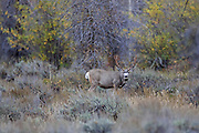 Mule Deer buck in habitat
