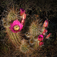 Cactus blossoms at San Tan Regional Park