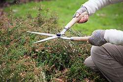 Trimming winter-flowering heathers with shears in spring after they have finished flowering.