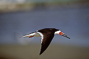 Black Skimmer in flight - Mississippi.