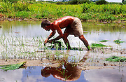 28 JULY 2002 - COLISEO, MATANZAS, CUBA: A farmer plants rice in his paddy near Coliseo, province of Matanzas, Cuba, July 28, 2002. The farmer said he is one of a growing number of private farmers in Cuba, who pays for and grows his own crops and then sells most of the crop to the public at prices he sets rather than to the state, which pays a much lower amount. .PHOTO BY JACK KURTZ
