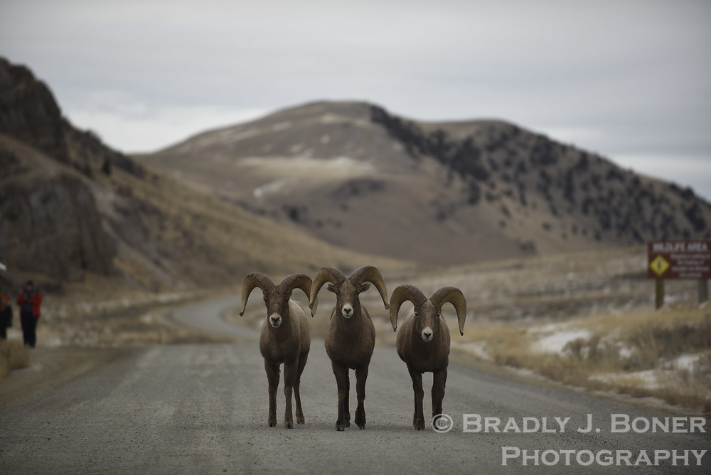 Bighorn sheep on the Elk Refuge Road, National Elk Refuge, Wyoming.