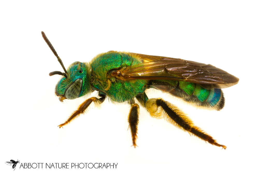 Dark-winged Striped-Sweat Bee (Agapostemon splendens)<br /> United States: Alabama: Tuscaloosa Co.<br /> Tulip Tree Springs off Echola Rd.; Elrod<br /> 2-Jul-2017<br /> J.C. Abbott #2964