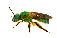 Pure Green Augochlora (Augochlora pura)<br /> United States: Alabama: Tuscaloosa Co.<br /> Tulip Tree Springs off Echola Rd.; Elrod<br /> 2-Jul-2017<br /> J.C. Abbott #2964