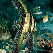Juvenile Zebra Batfish Platax batavianusat Lembeh Straits, Indonesia.