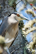A black crowned night heron perches in an oak tree.