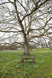 Snowdrops and aconites under the 200 year old walnut tree at Hanham Court
