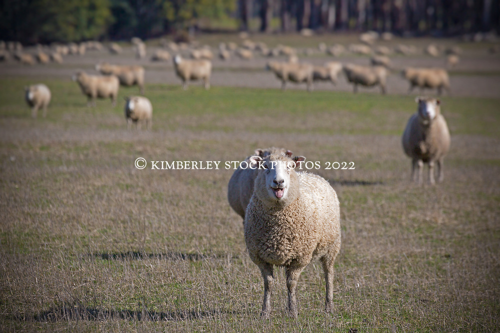 Sheep near Blackwood Creek at the base of the Great Western Tiers in northern Tasmania.